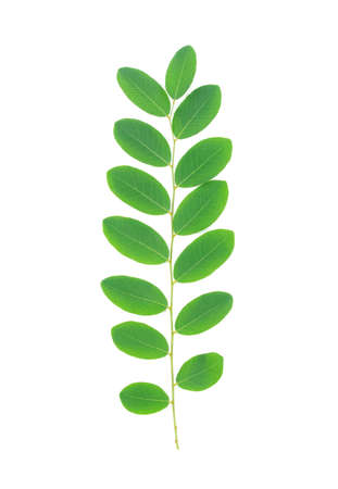 green leaf isolated on white background, Moringa leaves Stock Photo