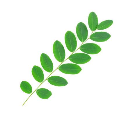 녹색 잎 흰색 배경에 고립 된 Moringa 잎