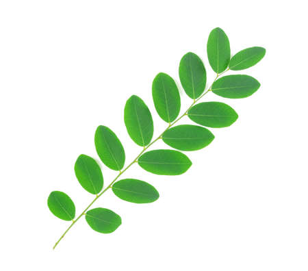 green leaf isolated on white background, Moringa leaves Stock Photo