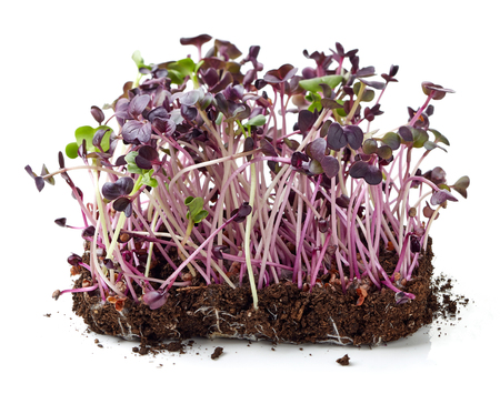 Fresh radish sprouts isolated on white background