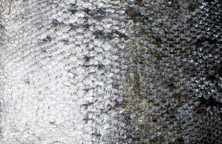 caudal fin: Fresh salmon skin texture, close up Stock Photo