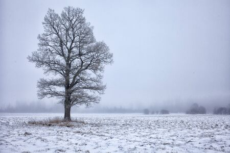 covered in snow: Lone oak tree in snow covered field