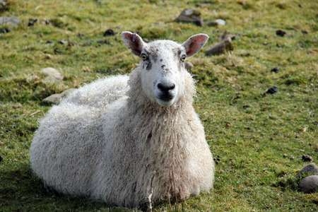 tagged: Resting sheep with ear tag, Isle of Islay, Inner Hebrides, Scotland.
