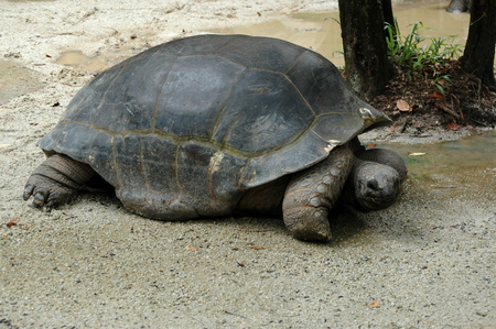 ancient turtles: Giant turtle on riverbank in Sarawak Borneo South East Asia