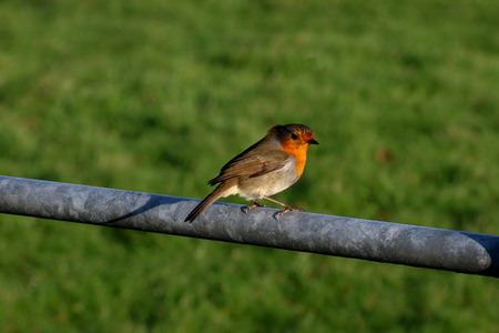 Robin perched on a Farm Gate in Winter Stock Photo