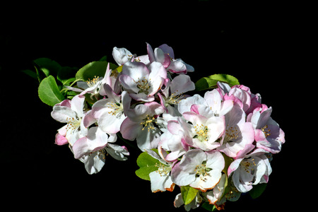 Apple blossom flowers in a country garden