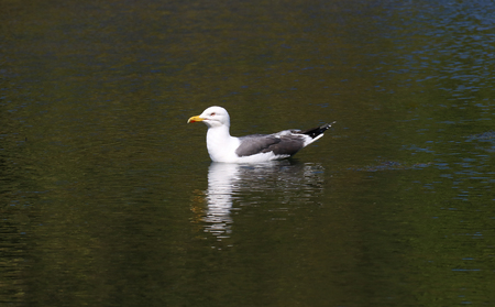 Herring gull resting on an inland loch in Scotland Stock Photo