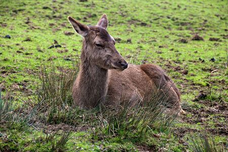 Deer resting in a field in Scotland 版權商用圖片