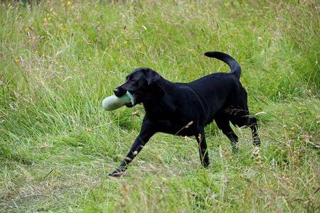 Black labrador dog retrieving a training dummy