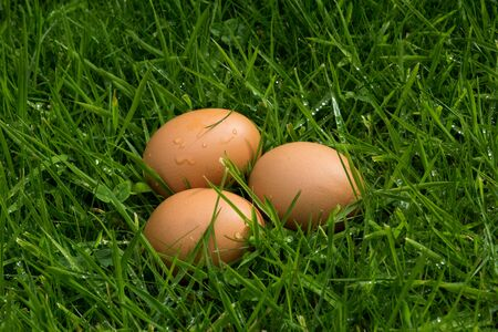 Clutch of fresh eggs in long grass