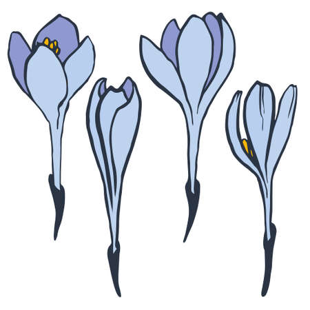 crocus: Hand drawn crocus flowers. Illustration