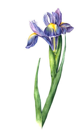botanical illustration: Isolated watercolor iris on white background. Hand drawn botanical illustration