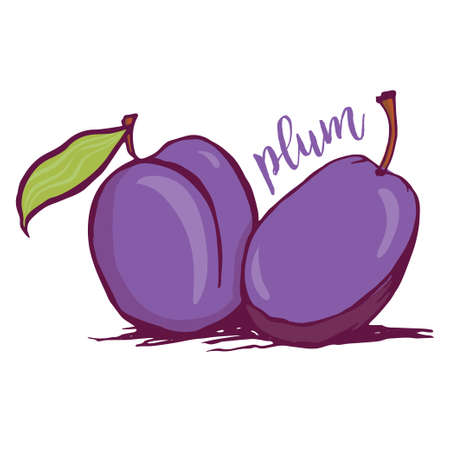 prune: Plum sketch style vector illustration isolated on white background. Hand drawn couple of fresh ripe plums