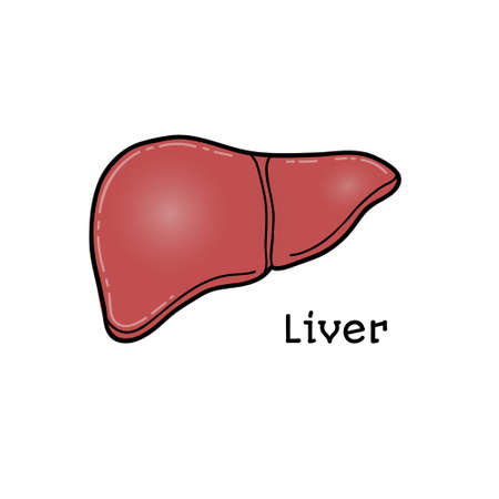 physiology: Human liver, anatomical vector illustration isolated on white background. Healthy human liver, anatomical illustration, physiology, healthcare