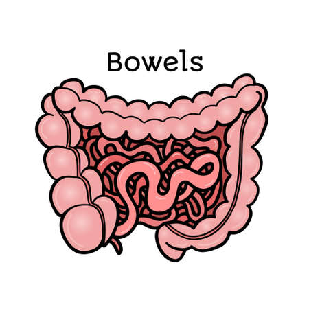 physiology: Human bowels, intestines, anatomical vector illustration isolated on white background. Healthy human guts, bowels, intestins, abdominal organs, anatomical illustration, physiology, healthcare