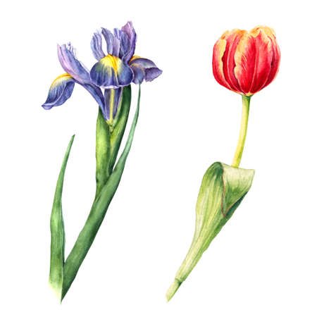 Hand drawn iris, fleur-de-lis and tulip painting, watercolor illustration isolated on white background. Isolated hand drawn botanical illustration of red tulip and purple iris, fleur-de-lis flowers Stock Photo
