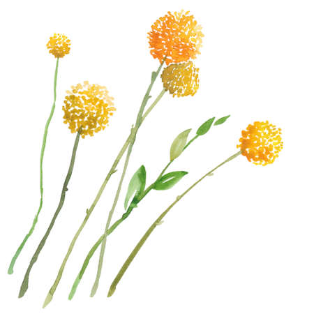 Hand painted sketch of craspedia, billy button flowers, watercolor illustration isolated on white background. Watercolor sketch illustration of craspedia, billy button flowers on white background Stock Photo