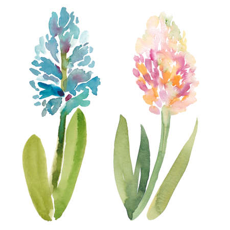 Hand painted sketch of pink and purple hyacinth flowers, watercolor illustration isolated on white background. Watercolor sketch illustration of two hyacinth flowers on white background
