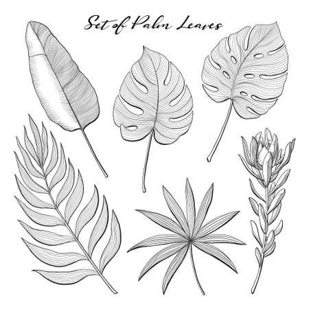 Conjunto de hojas de plantas tropicales, exóticas, de la selva - monstera, areca, plátano, palma de abanico y protea, ilustración vectorial dibujada a mano aislada sobre fondo blanco. Hojas dibujadas a mano de palmeras tropicales de la selva. Ilustración de vector