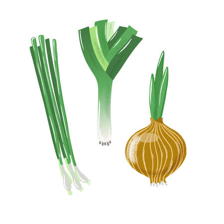 Set of bulb, spring and leek onion, textured vector illustration isolated on white background. Textured vector illustration of bulb onion, green spring onion and leek or allium
