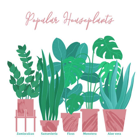Group, horizontal composition of houseplants, house plants - monstera, aloe, zamioculcas, sansevieria and ficus in pots, flat style and texture, vector illustration isolated on white background