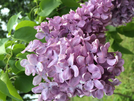 A branch of pink, purple blooming lilac with leaves in spring garden, park. Beautiful lilac in bloom, spring season concept