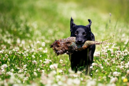 Black Labrador Dog with Pheasant photo