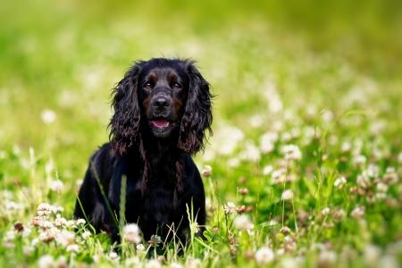 Black Springer Spaniel Dog in Clover Field