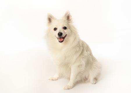 Portrait of volpino italiano dog facing the camera. Stock fotó