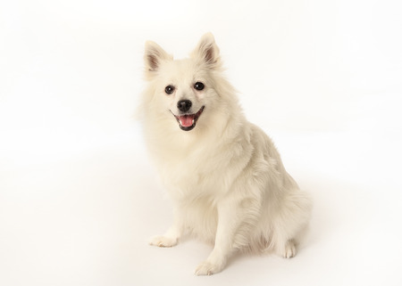 Portrait of volpino italiano dog facing the camera. Stock Photo