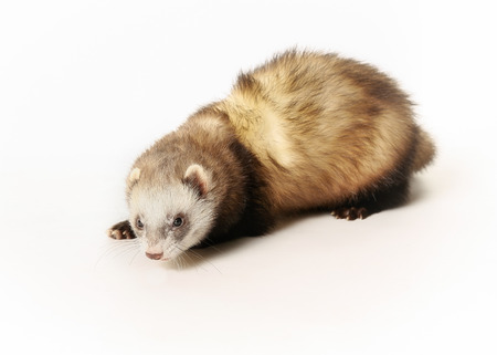 Portrait of ferret. Taken indoors and isolated on white. Stock Photo