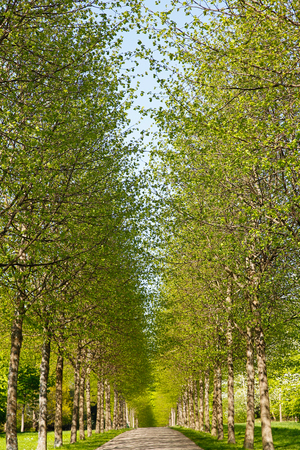 A tree alley with fresh green leaves during spring  photo