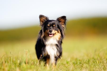 dog running: Portrait of chihuahua dog walking towards the camera. Stock Photo