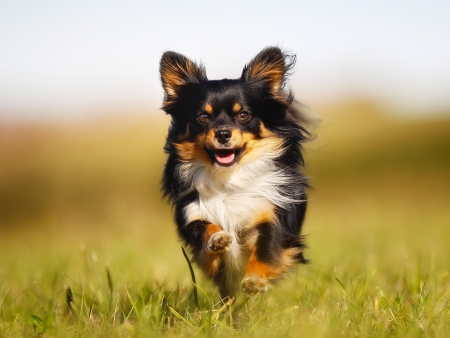 Chihuahua dog running towards the camera in a grass field.
