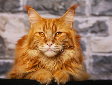 Orange purebred Main Coone cat posing for the photographer.