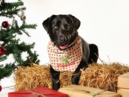 labrador christmas: Christmas arrangement of black labrador dog. Portrait of dog facing the camera.