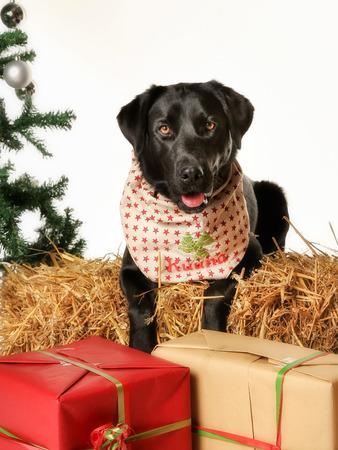 labrador christmas: Black labrador dressed up for christmas, along with presents.