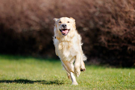 Beautiful purebred dog running outside during summer time.
