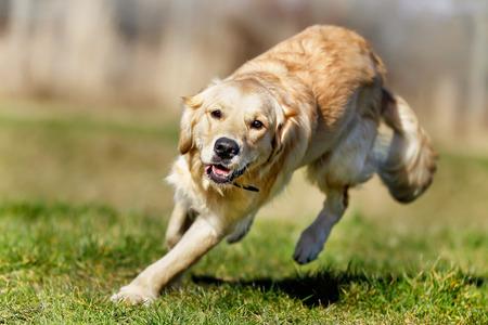 Beautiful purebred dog enjoying herself during summer time.