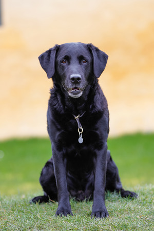 pedigree: Black pedigree labrador retriever dog with yellow brick wall in the background.