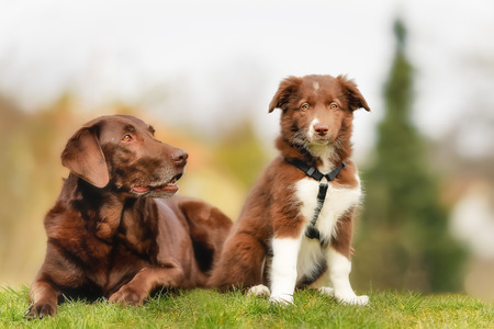 border collie puppy: Adult brown labrador and brown and white border collie puppy. Stock Photo