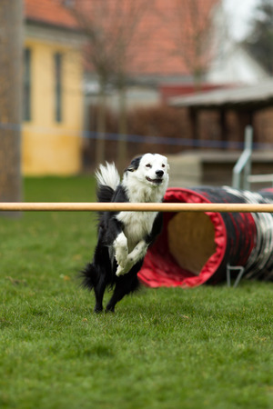 White and black border collie jumping over a bar at dog show. photo
