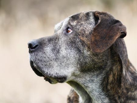 cane corso: Mixed-cane di razza, un mix di Cane Corso e Mastiff italiano. Archivio Fotografico