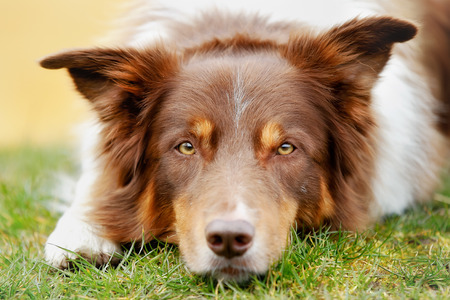 Brown border collie lying outside and looking at the camera. photo