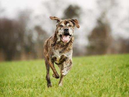cane corso: Mixed-bred dog, a mix of Cane Corso and Italian Mastiff.