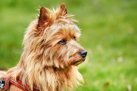 Pured Australian Terrier dog outside on grass during spring/summer time.