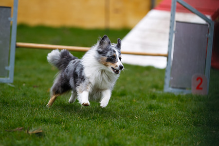 Border collie participating at outdoors agility competition. photo