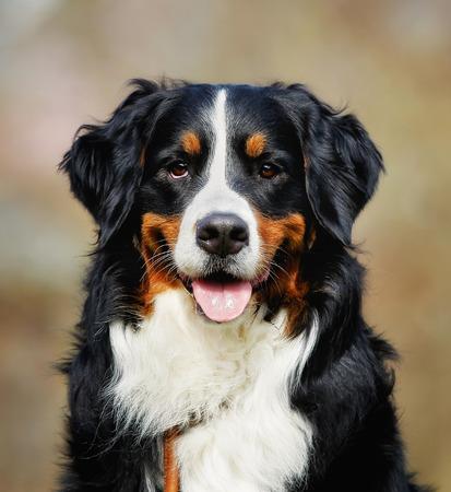 sennenhund: Purebred berner sennenhund, taken outside during springsummer time. Stock Photo