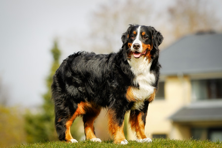 berner: Purebred berner sennenhund, taken outside during springsummer time. Stock Photo