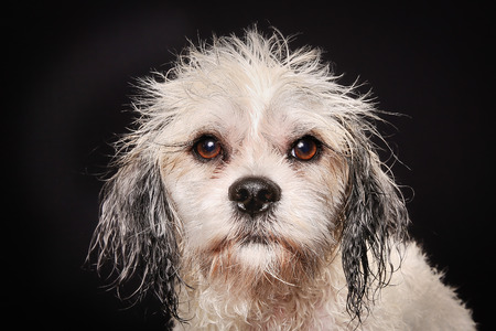 havanais: Studio shot of purebred Bichon Havanais dog during grooming session at dog salon.